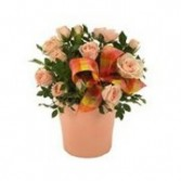 Pink Mini Rose Plant for Mom Rose Plant