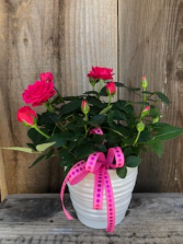 Pink Mini Roses Potted Plant