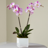 Pink Orchid Planter Plant