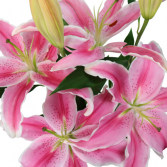 Pink Oriental Lily  Bunch