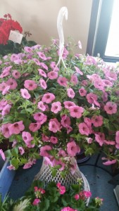 Outdoor blooming plant color may vary