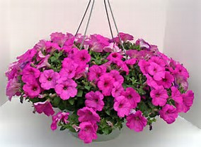 Pink Petunia Hanging Basket In Moneta Va Smith Mountain Flowers