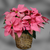 "Pink Poinsettia - 10"""