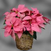Pink Poinsettia - 8