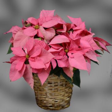 "Pink Poinsettia - 8"""