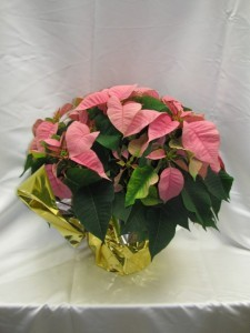 Pink Poinsettia Blooming Plant