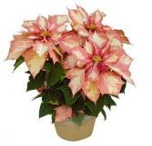 Pink Poinsettia - Pre-Order Now! Available November 28th