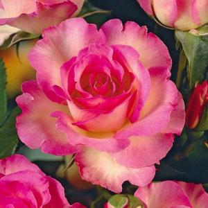Pink Rose Bouquet   in Oakville, ON   ANN'S FLOWER BOUTIQUE-Wedding & Event Florist