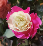 PINK WITH WHITE INSIDE DYED ROSES Rose 1 dozen