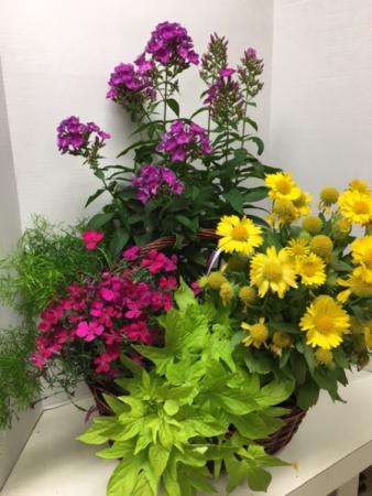 Plant - Annual Perennial Basket Plant