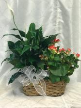 Plant Basket  2 Plants in a Basket