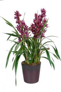 Planta de Orquídea Cymbidium Planta