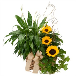 Plants and Sunshine - As Shown (Deluxe) Basket in Burnt Hills, NY | THE COUNTRY FLORIST