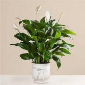 Please lily Plant