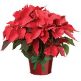 POINSETTA PLANT THANKSGIVING