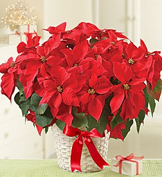Radiant Poinsettia  in Windsor, ON | K. MICHAEL'S FLOWERS & GIFTS