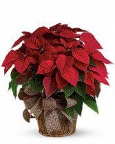 Poinsettia Traditional Christmas Plant