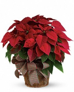 Poinsettia Traditional Christmas Plant in Osceola Mills, PA | COLONIAL FLOWER & GIFT SHOP