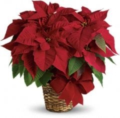 Item Of The Day Red Poinsettia