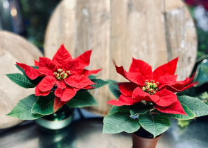 Pixie Poinsettia   in Shoreview, MN   HUMMINGBIRD FLORAL