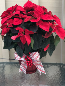 "Poinsettia (6"" and 8"" pots) Christmas"