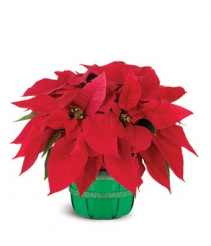 "6"" Red Poinsettia Basket Plant"