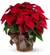 Dressed Up Poinsettia Blooming Plant