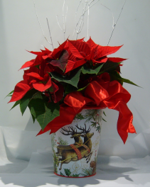 POINSETTIA PLANTER Blooming Plant