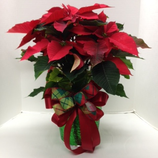 Poinsettia Blooming Plant