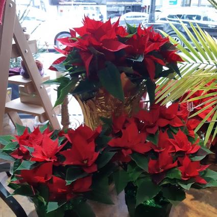 Poinsettia Plant In Kelowna Bc Burnett S Florist