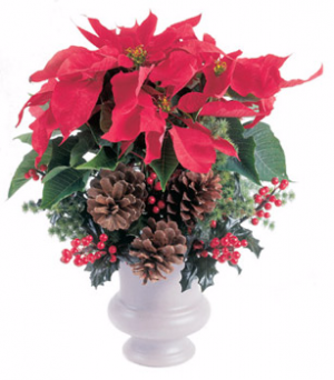 Poinsettia Fancied Up Potted Poinsettia in Abbotsford, BC | BUCKETS FRESH FLOWER MARKET