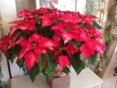 Poinsettia Holiday Plant