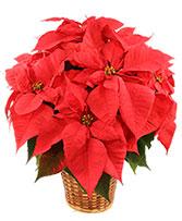 Poinsettia in Basket - 6 inch