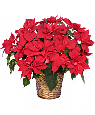 Poinsettia in Basket - 8 Inch