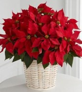 Poinsettia in Basket Measures Overall Approx 17""