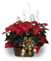 Poinsettia with fresh Christmas greens In Basket