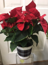 Poinsettia in Plaid