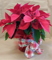 Poinsettia in Sleeve Cover