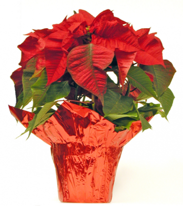 POINSETTIA IN WICKER BASKET PLANT