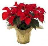 Poinsettia Indoor Plant