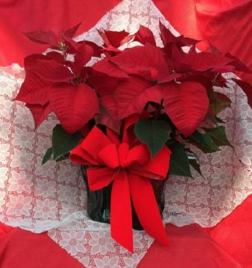 Poinsettia - Large Poinsettia