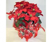 Poinsettia Medium Plant