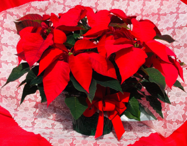 Poinsettia - Medium Poinsettia