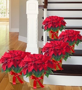 Poinsettia Package. From  Roma  florist
