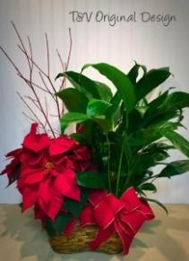 Poinsettia, Peace Lily Duo TVF Original
