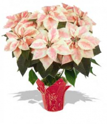 Poinsettia Pink Marble