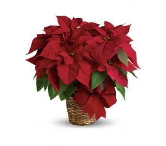 8 Inch Pot HUGE Poinsettias! Flash Sale!! Send New Years Cheers!