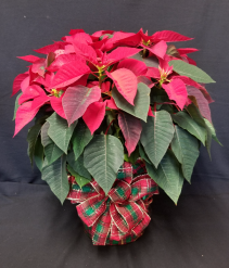 Large Poinsettia Plant