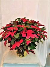 Decorated Red Poinsettia  Plant