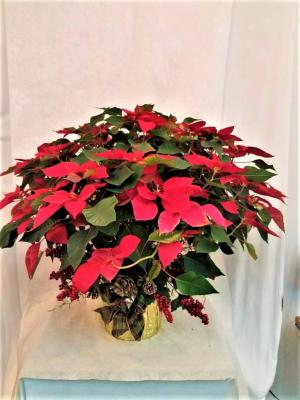 Poinsettia Plant   in Boca Raton, FL | Flowers of Boca